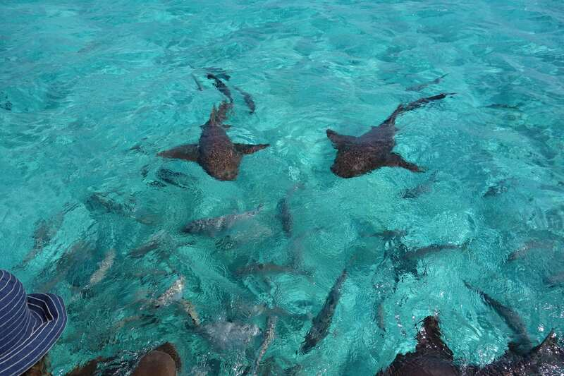 Look at all the nurse sharks we are getting to swim around.  YIKES.